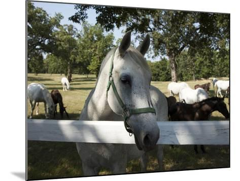 Lipizaner Horses in the World Famous Lipizaner Horses Farm, Lipica, Slovenia, Europe-Angelo Cavalli-Mounted Photographic Print