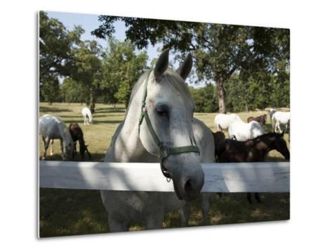 Lipizaner Horses in the World Famous Lipizaner Horses Farm, Lipica, Slovenia, Europe-Angelo Cavalli-Metal Print