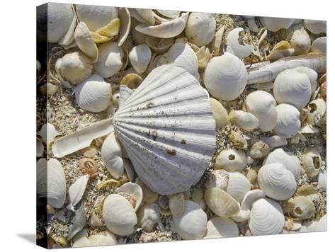 Sea Shells, Hebrides, Scotland, United Kingdom, Europe-Mark Harding-Stretched Canvas Print