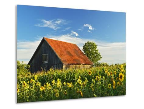 Sunflowers (Helianthus Annuus), Villingen-Schwenningen, Black Forest, Schwarzwald-Baar, Germany-Jochen Schlenker-Metal Print