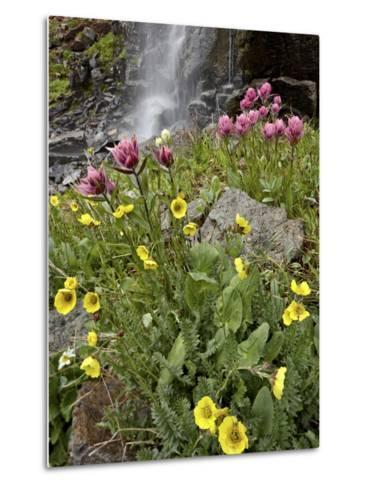 Alpine Avens (Acomastylis Rossii Turbinata)/Rosy Paintbrush (Castilleja Rhexifolia), Colorado, USA-James Hager-Metal Print