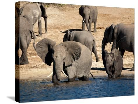 Elephants Drinking, Namibia, Africa-Kim Walker-Stretched Canvas Print