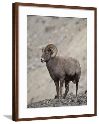 Bighorn Sheep (Ovis Canadensis) Ram with an Erection During Rut, Clear Creek County, Colorado, USA-James Hager-Framed Art Print