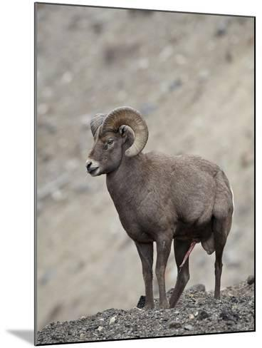 Bighorn Sheep (Ovis Canadensis) Ram with an Erection During Rut, Clear Creek County, Colorado, USA-James Hager-Mounted Photographic Print