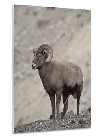 Bighorn Sheep (Ovis Canadensis) Ram with an Erection During Rut, Clear Creek County, Colorado, USA-James Hager-Metal Print
