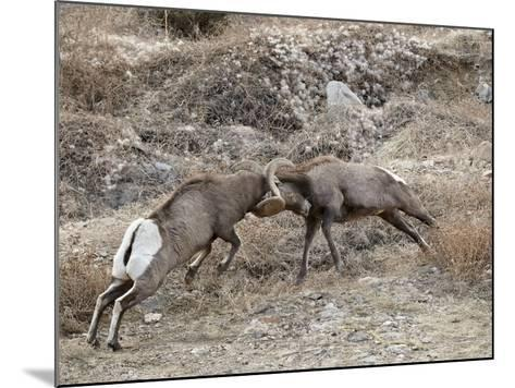 Two Bighorn Sheep (Ovis Canadensis) Rams Butting Heads, Clear Creek County, Colorado, USA-James Hager-Mounted Photographic Print