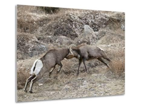 Two Bighorn Sheep (Ovis Canadensis) Rams Butting Heads, Clear Creek County, Colorado, USA-James Hager-Metal Print