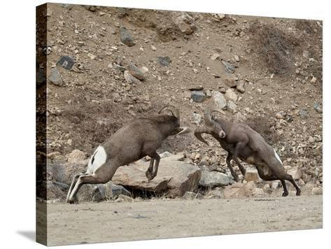 Two Bighorn Sheep (Ovis Canadensis) Rams Butting Heads, Clear Creek County, Colorado, USA-James Hager-Stretched Canvas Print