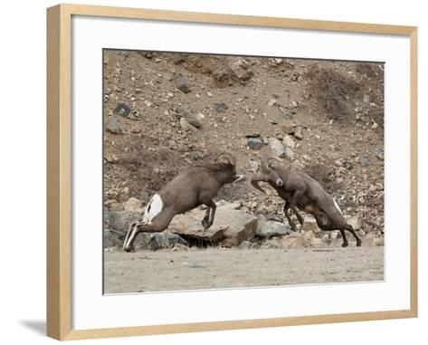 Two Bighorn Sheep (Ovis Canadensis) Rams Butting Heads, Clear Creek County, Colorado, USA-James Hager-Framed Art Print