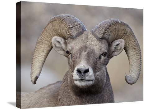 Bighorn Sheep (Ovis Canadensis) Ram Durng the Rut, Clear Creek County, Colorado, USA, North America-James Hager-Stretched Canvas Print