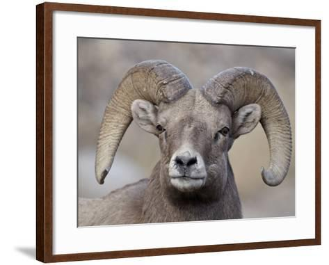 Bighorn Sheep (Ovis Canadensis) Ram Durng the Rut, Clear Creek County, Colorado, USA, North America-James Hager-Framed Art Print
