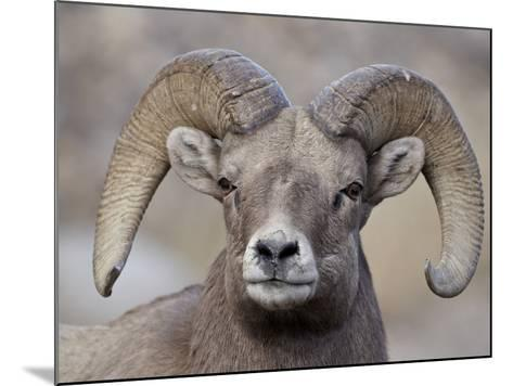 Bighorn Sheep (Ovis Canadensis) Ram Durng the Rut, Clear Creek County, Colorado, USA, North America-James Hager-Mounted Photographic Print