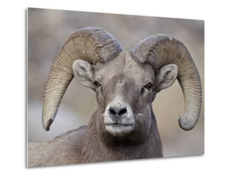 Bighorn Sheep (Ovis Canadensis) Ram Durng the Rut, Clear Creek County, Colorado, USA, North America-James Hager-Metal Print