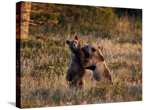 Two Sub-Adult Grizzly Bears (Ursus Arctos Horribilis), Glacier National Park, Montana, USA-James Hager-Stretched Canvas Print