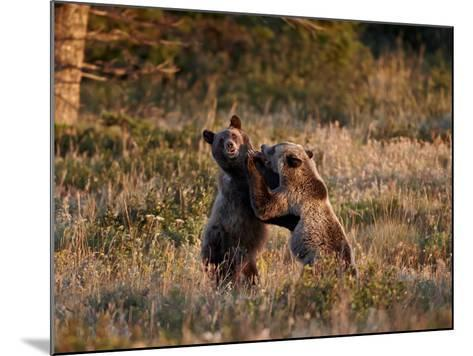 Two Sub-Adult Grizzly Bears (Ursus Arctos Horribilis), Glacier National Park, Montana, USA-James Hager-Mounted Photographic Print