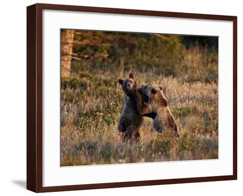 Two Sub-Adult Grizzly Bears (Ursus Arctos Horribilis), Glacier National Park, Montana, USA-James Hager-Framed Art Print
