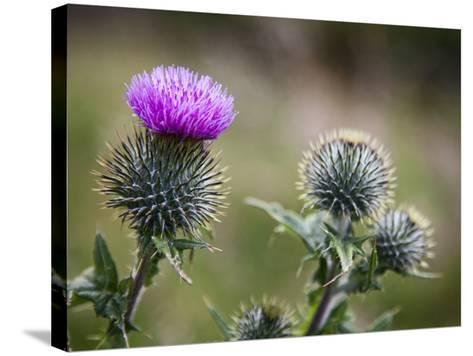 Scottish Thistle Near Dunnottar Castle, Stonehaven, Aberdeenshire, Scotland, United Kingdom, Europe-Mark Sunderland-Stretched Canvas Print