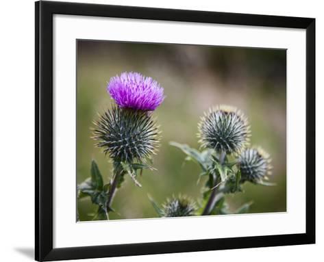 Scottish Thistle Near Dunnottar Castle, Stonehaven, Aberdeenshire, Scotland, United Kingdom, Europe-Mark Sunderland-Framed Art Print