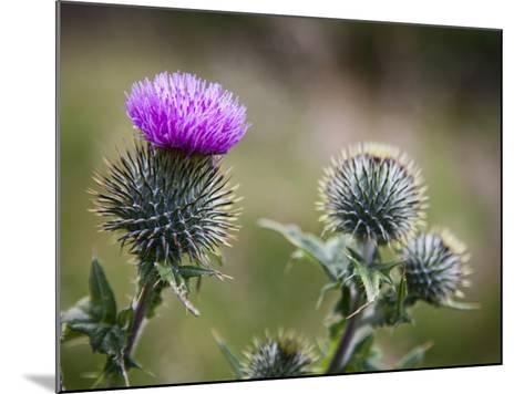 Scottish Thistle Near Dunnottar Castle, Stonehaven, Aberdeenshire, Scotland, United Kingdom, Europe-Mark Sunderland-Mounted Photographic Print