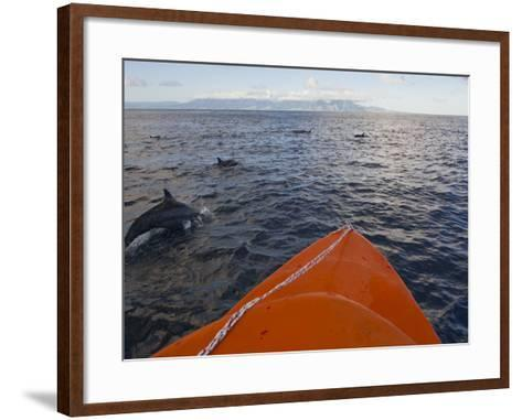 Dolphins Swimming with a Boat, Savo Island, Solomon Islands, Pacific-Michael Runkel-Framed Art Print