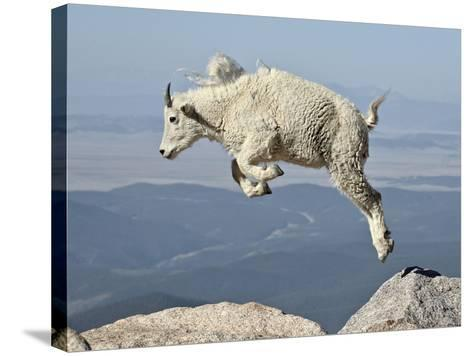 Mountain Goat (Oreamnos Americanus) Kid, Mt Evans, Arapaho-Roosevelt Nat'l Forest, Colorado, USA-James Hager-Stretched Canvas Print
