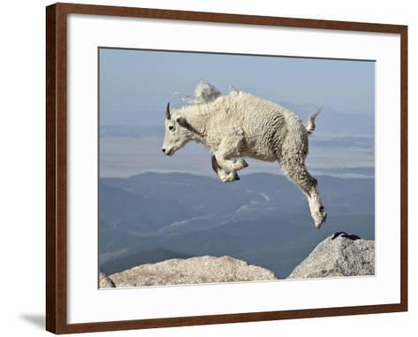 Mountain Goat (Oreamnos Americanus) Kid, Mt Evans, Arapaho-Roosevelt Nat'l Forest, Colorado, USA-James Hager-Framed Art Print