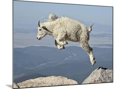 Mountain Goat (Oreamnos Americanus) Kid, Mt Evans, Arapaho-Roosevelt Nat'l Forest, Colorado, USA-James Hager-Mounted Photographic Print