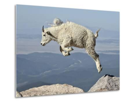 Mountain Goat (Oreamnos Americanus) Kid, Mt Evans, Arapaho-Roosevelt Nat'l Forest, Colorado, USA-James Hager-Metal Print