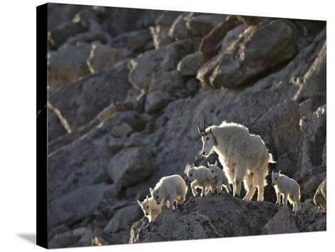 Mountain Goat (Oreamnos Americanus) Nanny and 5 Kids, Arapaho-Roosevelt Nat'l Forest, Colorado, USA-James Hager-Stretched Canvas Print