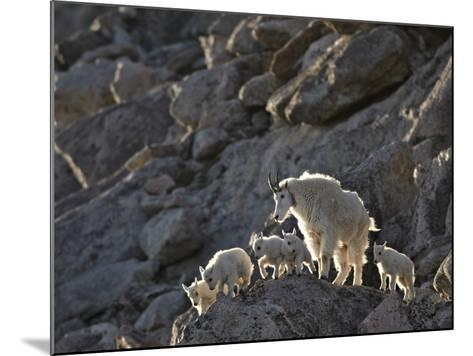 Mountain Goat (Oreamnos Americanus) Nanny and 5 Kids, Arapaho-Roosevelt Nat'l Forest, Colorado, USA-James Hager-Mounted Photographic Print