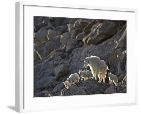 Mountain Goat (Oreamnos Americanus) Nanny and 5 Kids, Arapaho-Roosevelt Nat'l Forest, Colorado, USA-James Hager-Framed Art Print