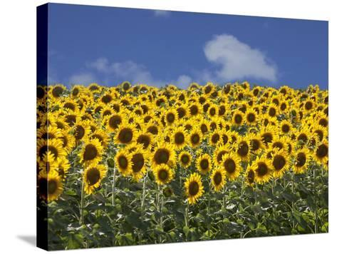 Sunflowers in Tuscany, Italy, Europe-Angelo Cavalli-Stretched Canvas Print