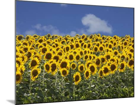 Sunflowers in Tuscany, Italy, Europe-Angelo Cavalli-Mounted Photographic Print
