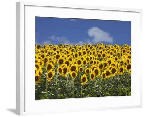 Sunflowers in Tuscany, Italy, Europe-Angelo Cavalli-Framed Art Print
