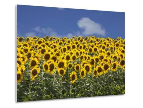 Sunflowers in Tuscany, Italy, Europe-Angelo Cavalli-Metal Print