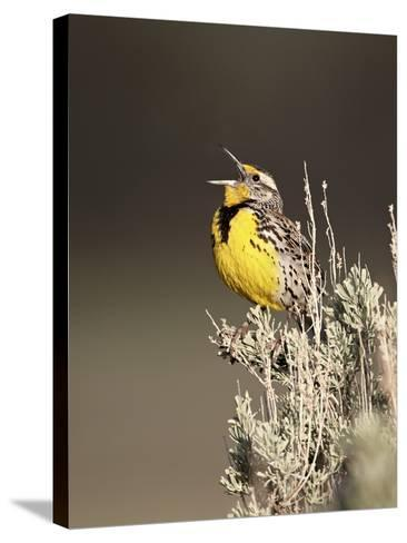 Western Meadowlark (Sturnella Neglecta) Singing, Yellowstone National Park, Wyoming, USA-James Hager-Stretched Canvas Print