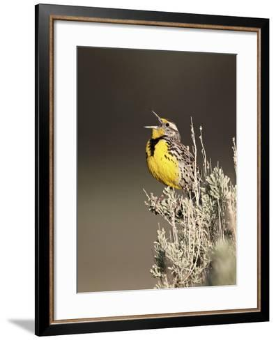 Western Meadowlark (Sturnella Neglecta) Singing, Yellowstone National Park, Wyoming, USA-James Hager-Framed Art Print