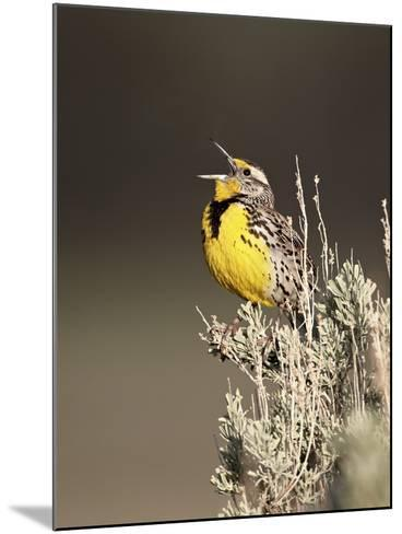 Western Meadowlark (Sturnella Neglecta) Singing, Yellowstone National Park, Wyoming, USA-James Hager-Mounted Photographic Print