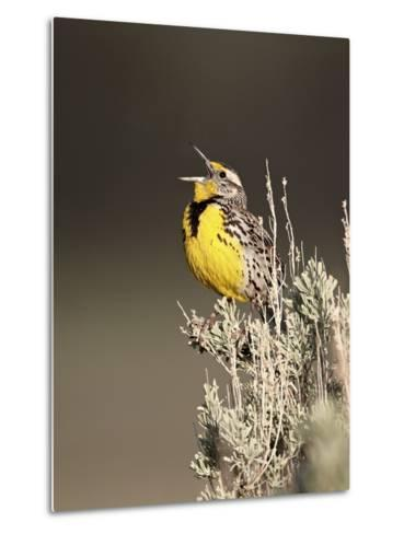 Western Meadowlark (Sturnella Neglecta) Singing, Yellowstone National Park, Wyoming, USA-James Hager-Metal Print