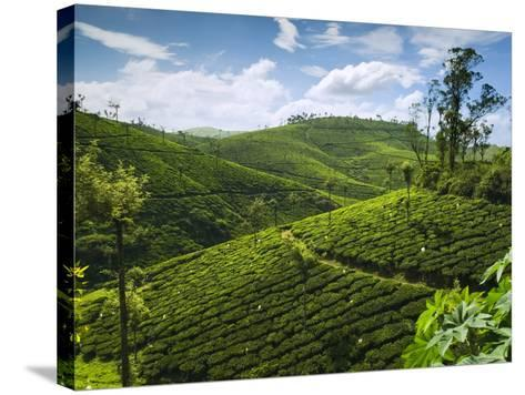 View over Tea Plantations, Near Munnar, Kerala, India, Asia-Stuart Black-Stretched Canvas Print