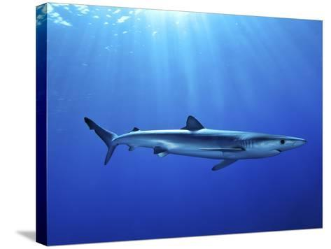 Blue Shark (Prionace Glauca) in the Azores, Portugal, Atlantic, Europe-Mark Harding-Stretched Canvas Print