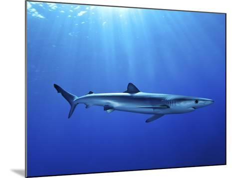 Blue Shark (Prionace Glauca) in the Azores, Portugal, Atlantic, Europe-Mark Harding-Mounted Photographic Print