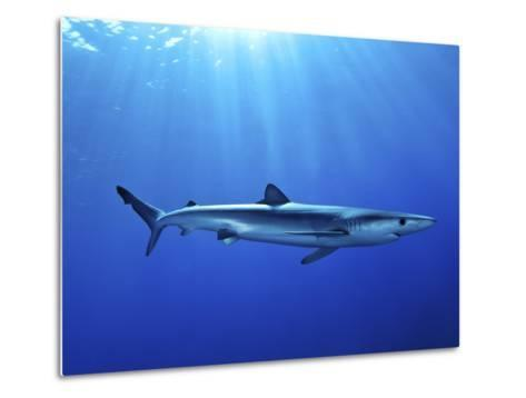 Blue Shark (Prionace Glauca) in the Azores, Portugal, Atlantic, Europe-Mark Harding-Metal Print