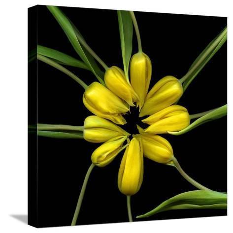 Yellow Tulips-Magda Indigo-Stretched Canvas Print
