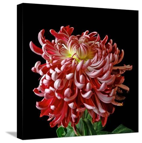 Pink Chrysanthemum 3-Magda Indigo-Stretched Canvas Print