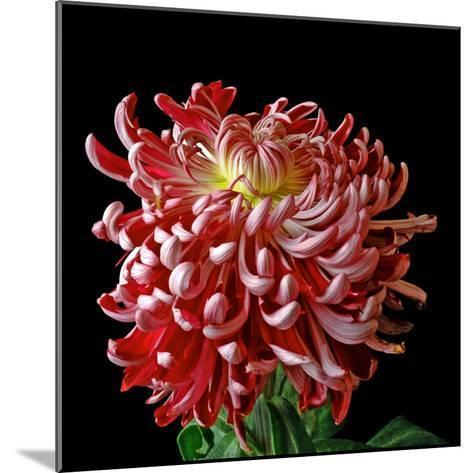 Pink Chrysanthemum 3-Magda Indigo-Mounted Photographic Print