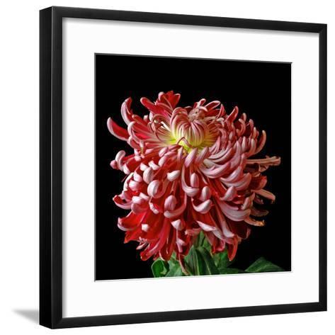 Pink Chrysanthemum 3-Magda Indigo-Framed Art Print