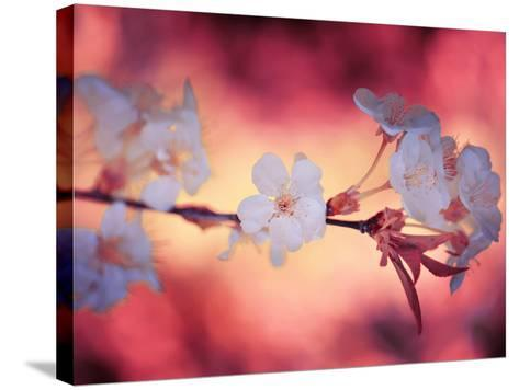 Spring Time 2-Philippe Sainte-Laudy-Stretched Canvas Print