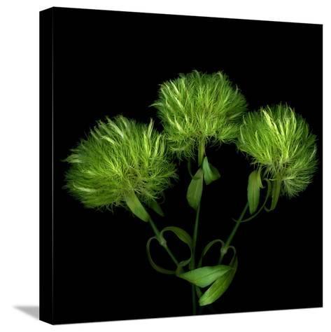 Green Pompons-Magda Indigo-Stretched Canvas Print