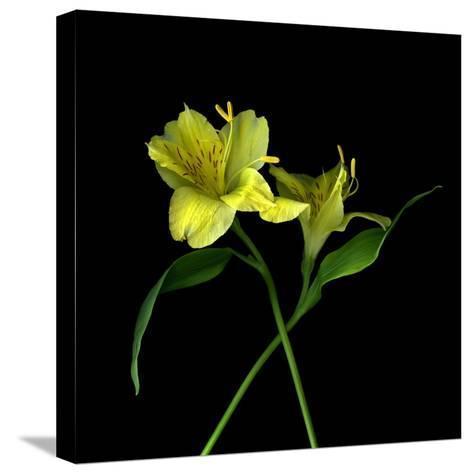 Alstroemeria 3-Magda Indigo-Stretched Canvas Print
